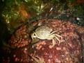 Krabbe auf rot bewachsendem Stein