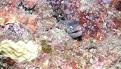 Moräne versteckt zwischen Korallen
